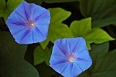 IPOMOEA PURPUREA, MORNING GLORY
