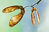 ACER PSEUDOPLATANUS WINGED SEEDS