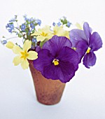 PRIMULA AND VIOLA CLOSE UP IN CONTAINER, (WHITE BACKGROUND)