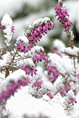 ERICA CARNEA, HEATHER, WINTER HEATH, SPRING HEATH, BELL HEATHER
