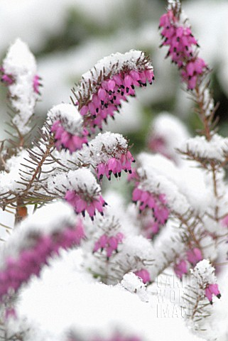 ERICA_CARNEA_HEATHER_WINTER_HEATH_SPRING_HEATH_BELL_HEATHER