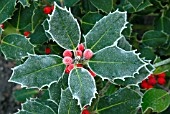 ILEX, (FROSTED HOLLY)
