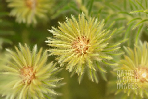 PHYLICA_PUBESCENS_FEATHERHEAD
