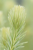 PHYLICA PUBESCENS, FEATHERHEAD