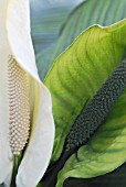 SPATHIPHYLLUM WALLISII, PEACE LILY