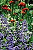 NEPETA MUSSINII, CATMINT