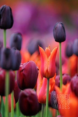 TULIPA_MIXED_TULIPS_IN_MAUVE_PURPLE_RED