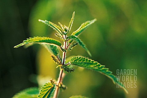 URTICA_DIOICA_NETTLE