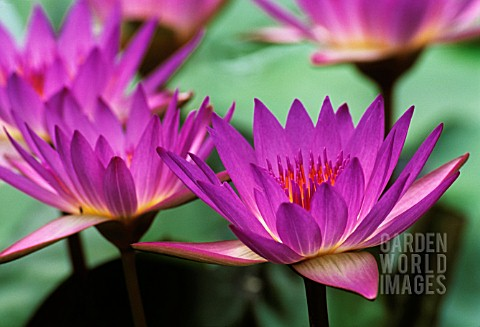 NYMPHAEA_TINA_WATER_LILY