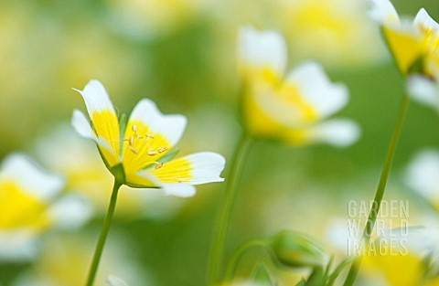 LIMNANTHES_DOUGLASII_POACHED_EGG_PLANT