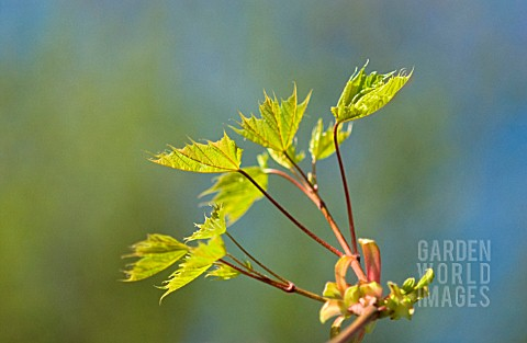 ACER_MAPLE