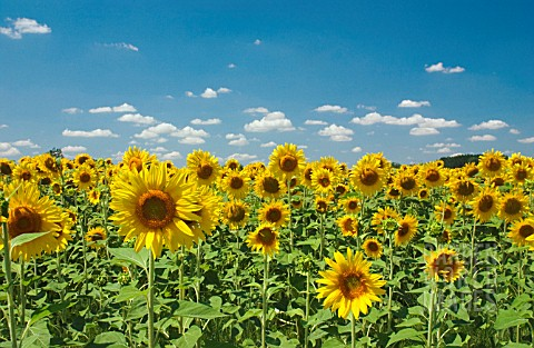 HELIANTHUS_SUNFLOWER