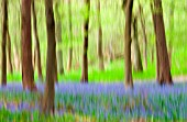 HYACINTHOIDES - VARIETY NOT IDETIFIED, BLUEBELL WOOD