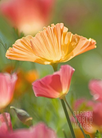 ESCHSCHOLZIA_CALIFORNICA_POPPY__CALIFORNIAN_POPPY
