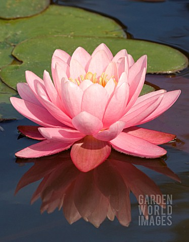 NYMPHAEA_PERRYS_PINK_WATER_LILY