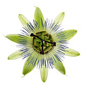 PASSIFLORA CAERULEA, PASSION FLOWER