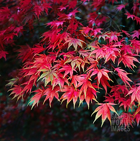 ACER_PALMATUM_JAPANESE_MAPLE