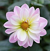 DAHLIA, CLOSE UP FLOWERHEAD WITH PINK PETALS