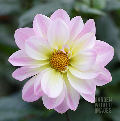 DAHLIA_CLOSE_UP_FLOWERHEAD_WITH_PINK_PETALS