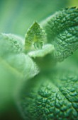 MENTHA ROTUNDIFOLIA, MINT - APPLE MINT