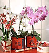 MIXED ORCHIDS; X BURRAGEARA NELLY EISLER AND PHALAENOPSIS SP.
