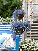 LOBELIA IN A HANGING BASKET