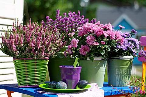 POTTED_HEATHERS_ASTERS_AND_CHRYSANTHEMUMS