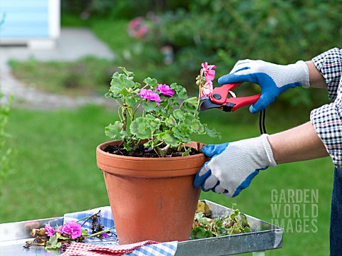 ACTION_GERANIUM__CUTTING_BACK