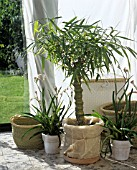 BAMBOO AND ANIGOZANTHOS