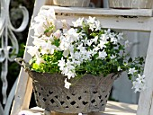 METAL PLANTER WITH WHITE AQUILEGIA AND CAMPANULA