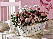 BELLIS PERENNIS IN A DECORATED FLOWERBOX