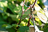 ONYCHOGOMPHUS FORCIPATUS (GREEN-EYED HOOK-TAILED DRAGONFLY)
