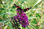 RED ADMIRAL BUTTERFLY ON A BUDDLEJA