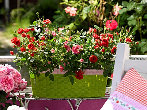 ROSES_IN_A_FLOWERBOX