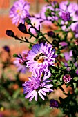 ASTER-NOVAE ANGLIAE WITH INSECT