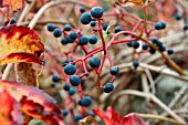 PARTHENOCISSUS WITH GRAPES