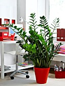 HOUSEPLANTS IN THE OFFICE: ZAMIOCULCAS
