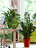HOUSEPLANTS IN THE OFFICE: ARALIAS, CHLOROPHYTUM, ZAMIOCULCAS