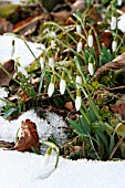 GALANTHUS IN THE SNOW