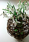 GALANTHUS (SNOWDROPS) DISPLAYED IN A BASKET