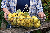 HARVESTING RIPE QUINCE