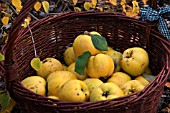 RIPE QUINCE APPLES IN A WICKER BASKET