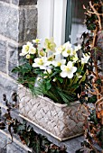 HELLEBORUS NIGER IN WINDOW SILL DECORATION