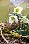 HELLEBORUS NIGER IS UNDER A LARGE GLASS DOME TO PROTECT FROM FROST