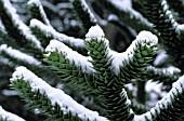 ARAUCARIA ARAUCANA SYN.  ARAUCARIA IMBRICATA (MONKEY PUZZLE TREE) SOUS LA SNOW
