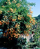 CAMPSIS RADICANS F. FLAVA (AGM), (CAMPSIS RADICANS YELLOW TRUMPET)