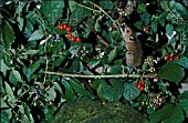 WOODMOUSE (APODEMUS SYVATICUS) EATING BLACKBERRIES
