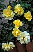 ROSA PAULS LEMON PILLAR CLIMBER, (HYBRID TEA ROSE)