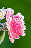 ROSA - FROSTED FLOWER OF MINIATURE ROSE