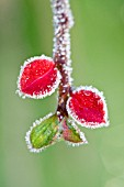 COTONEASTER - FROSTED LEAVES